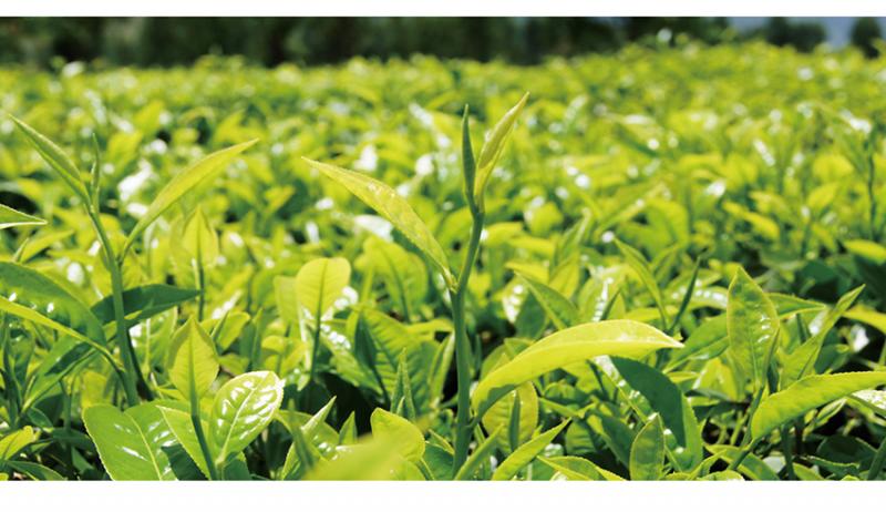 White Tea Extract_Anhui Redstar Pharmaceutical Corp., Ltd