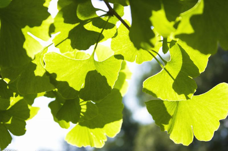Ginkgo biloba Extract-Botanical Extracts-Auropure LifeScience Co., Ltd.