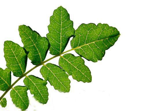 Boswellia Boswellia Serrata Extract - Bio Botanica