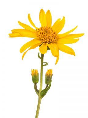 Mexican Arnica Flower Heterotheca Inuloides Flower Extract - Bio Botanica