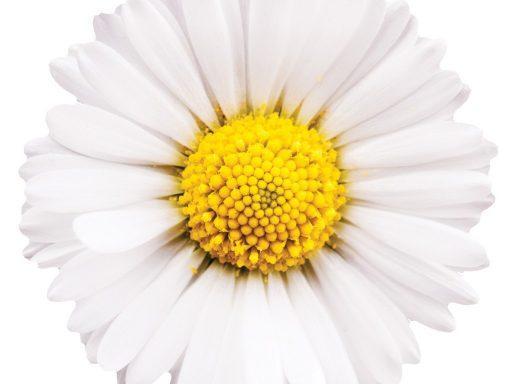 Chamomile Flower Chamomilla Recutita (Matricaria) Flower Extract - Bio Botanica