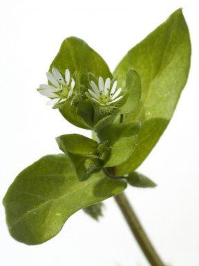 Chickweed Herb Stellaria Media (Chickweed) Extract - Bio Botanica