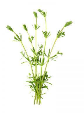 Cleavers Herb Galium Aparine Extract - Bio Botanica