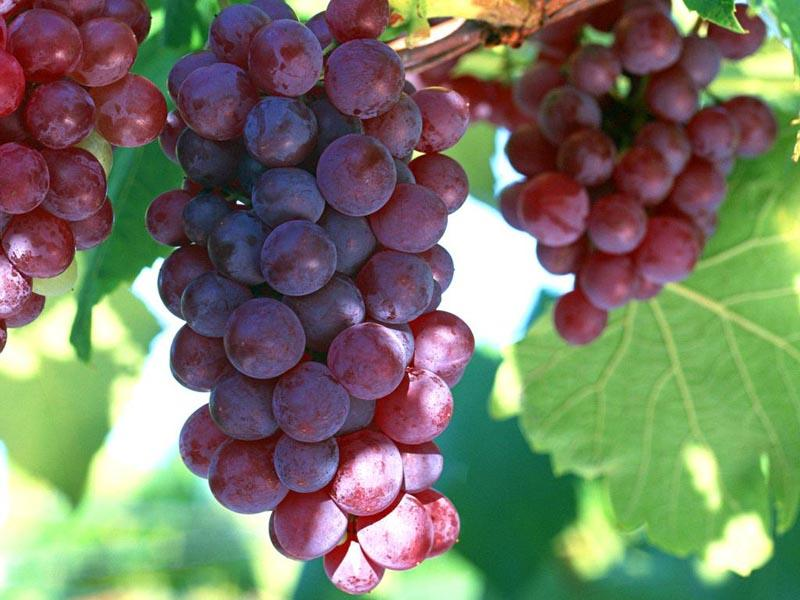 Grape Seed P.E. - Staherb Natural Ingredients-Chlorogenic acid corosolic acid Icariin Amygdalin Ursolic acid Laetrile