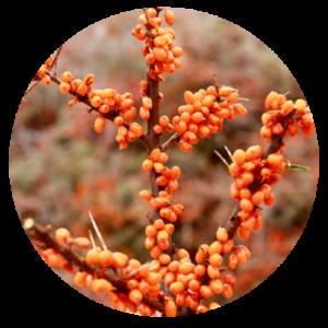 Omga7Sea™ Sea Buckthorn Powder (Polysaccharide) » davidiaglobal