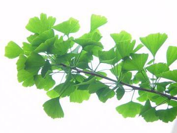 Ginkgo leaf - Dosic Import & Export Co., Ltd.