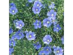 Flax flower - Dosic Import & Export Co., Ltd.