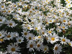Feverfew Flower Extract_Ningbo Beilun Excare Pharma-Tech Co.,Ltd