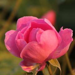 Rose Turkish oil - Robertet Groupe – Rose Turkish oil ingredient for perfume