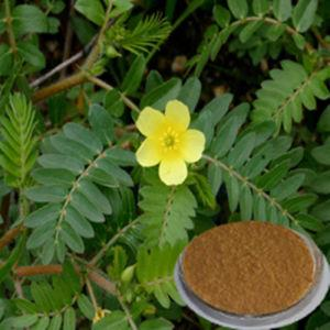 Tribulus Terrestris Extract 40% Saponins