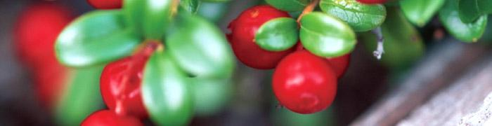Cranberry Extract - JF-Health