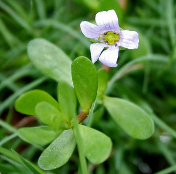 Bacopa Extracts  - Herbal Extracts - Cymbio Pharma