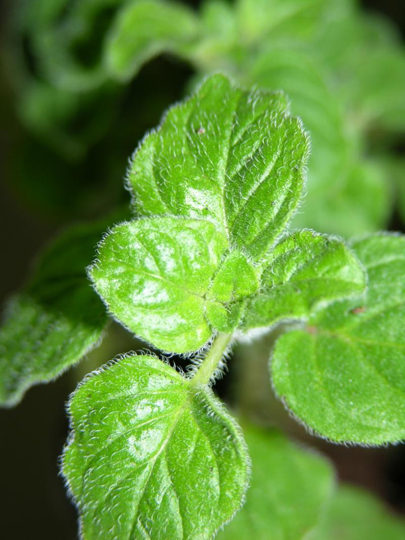 Origanox- Natural Antioxidant