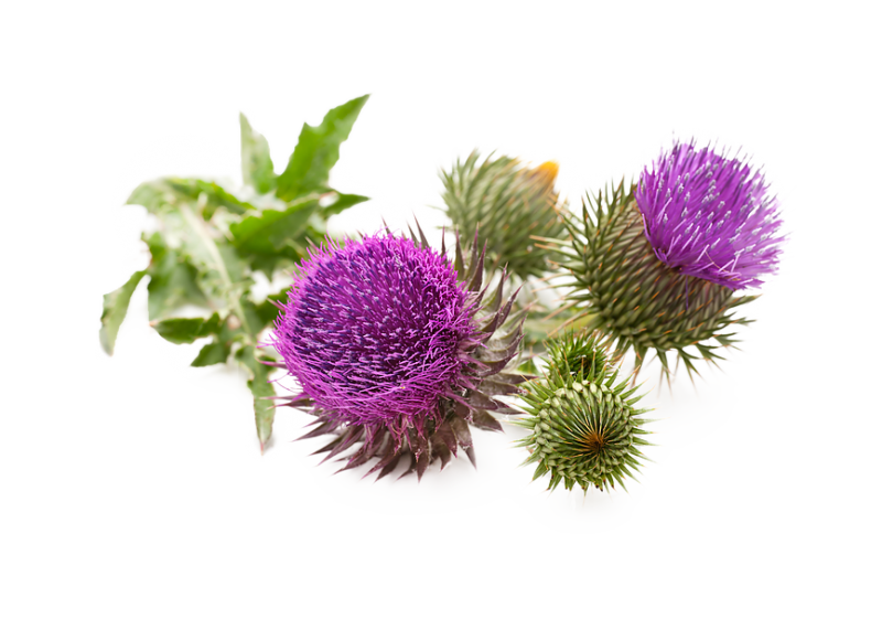 panasource-usa | Milk Thistle