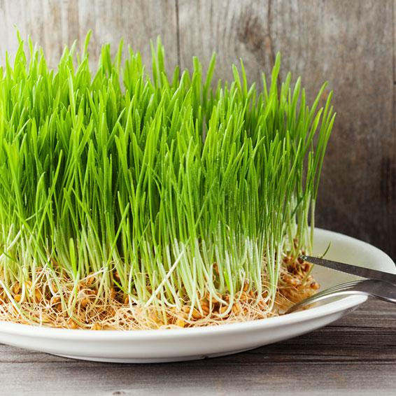 Organic Cereal Grasses & Microalgae | RFI Ingredients