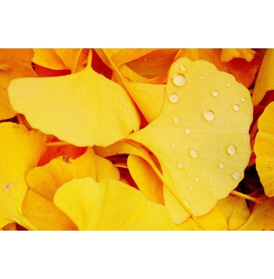 Ginkgo Biloba Leaf Extract - Product - XD Market