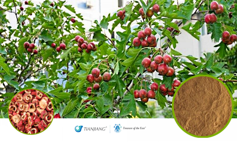 Hawthorn Pure Extract - Shan Zha: Treasure of the East Herbs, Distributor of Granule Chinese Herbs made by TianJiang pharmaceutical