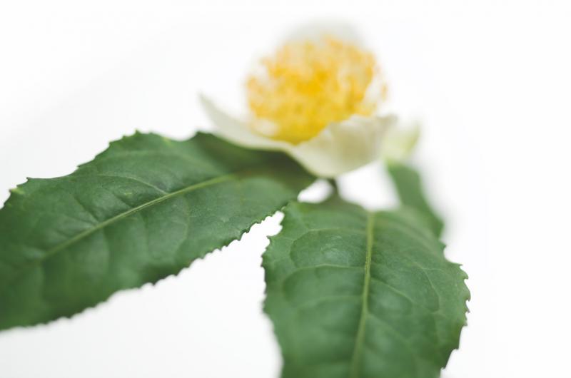 Green Tea, Greenselect, Phytosome, Indena