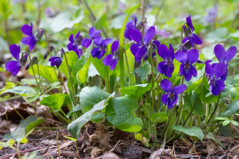 Viola odorata extract