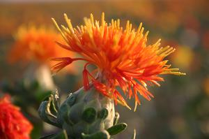 Safflower red extract