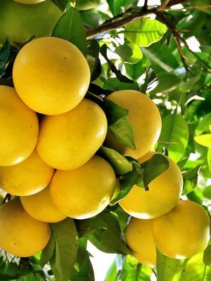 Grapefruit White (Citrus paradisi) - Essential Oils - Naturally Australian Products