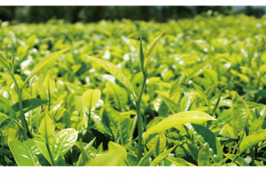 White Tea Extract_Anhui Redstar Pharmaceutical Corp., Ltd