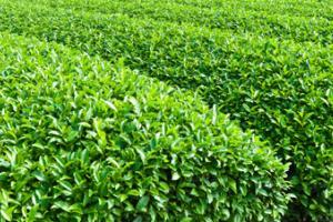 Buy Organic Sencha Green Tea - AOI Tea Company