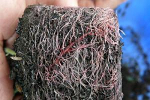 Arnebia Extract - http://www.starnaturalmax.com