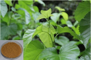 Mulberry Leaf Extract - http://www.starnaturalmax.com