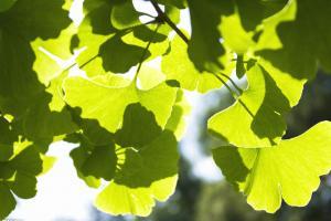 Ginkgo biloba Extract-Botanical Extracts-Auropure LifeScience Co., Ltd.
