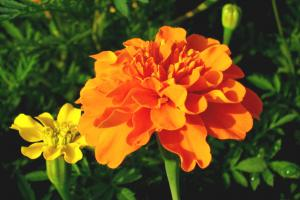 Marigold Extract-Botanical Extracts-Auropure LifeScience Co., Ltd.