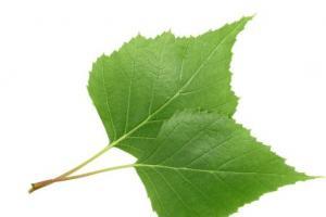 Birch Leaf Betula Alba Leaf Extract - Bio Botanica