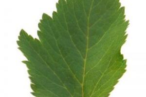 Angelica Root Angelica Archangelica Root Extract - Bio Botanica