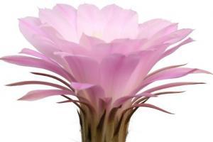 Cactus Grandiflorus Flower Cereus Grandiflorus (Cactus) Flower Extract - Bio Botanica