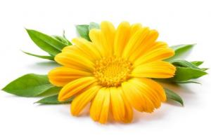 Calendula Flower Calendula Officinalis Flower Extract - Bio Botanica