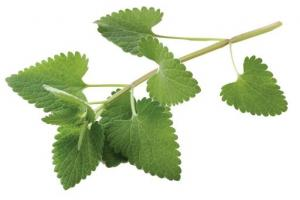 Catnip Herb Nepeta Cataria Extract - Bio Botanica