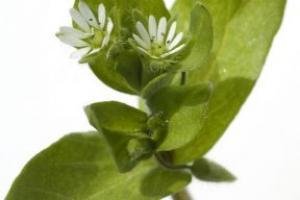 Chickweed Herb Stellaria Media (Chickweed) Extract - Bio Botanica