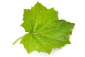 Coltsfoot Leaf Tussilago Farfara (Coltsfoot) Leaf Extract - Bio Botanica
