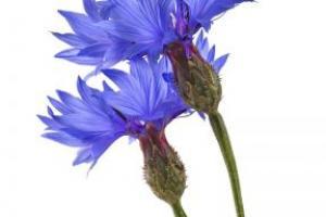 Corn Flower Centaurea Cyanus Flower Extract - Bio Botanica