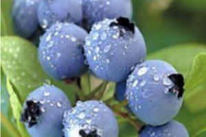 European Bilberry Extract