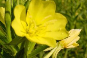 Evening Primrose Flower - Dosic Import & Export Co., Ltd.