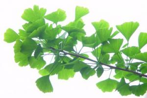 Ginkgo leaf - Dosic Import & Export Co., Ltd.