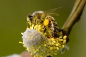 Pollen Powder