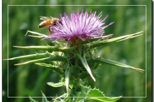 Milk Thistle Extracts (Silymarin)-Products-Jiang Sujianjia pharmaceutical co., LTD