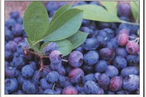 Bilberry extract powder-Products-Jiang Sujianjia pharmaceutical co., LTD