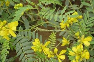 Senna Plant, Senna Leaves and Pods