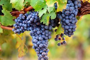 Grape & Vine extracts