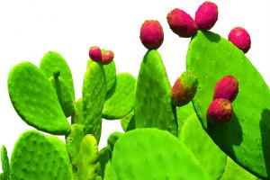 Cacti-Nea™: Weight-management properties to help scupt the body