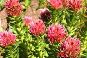 Rhodiola Rosea Extract_Ningbo Beilun Excare Pharma-Tech Co.,Ltd