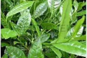 Green Tea Extract 15% - 98%